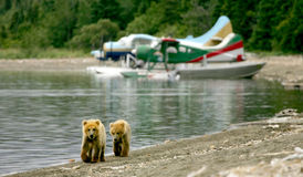 Grizzly cubs and float planes Royalty Free Stock Photo
