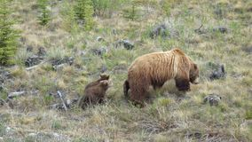 Grizzly with 2 cubs Stock Photo
