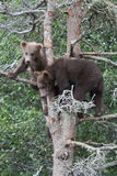 Grizzly cubs in tree Stock Image
