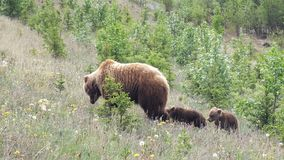 Grizzly with cubs Stock Image