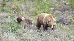 Grizzly with cubs Royalty Free Stock Photo