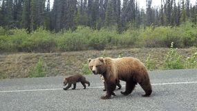 Grizzly with cubs Stock Photo