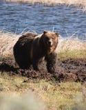 Grizzly in de modder Royalty-vrije Stock Foto's