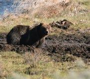 Grizzly in de modder Stock Fotografie