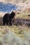 Grizzly in de modder Stock Foto