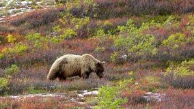 Grizzly in Denail die bessen in kleurrijke toendra eten royalty-vrije stock foto's