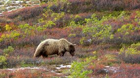 Grizzly in Denail eating berries in colourful tundra Royalty Free Stock Photos