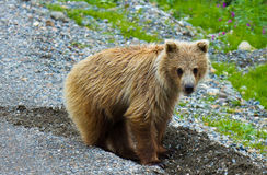 Grizzly in Denali Nationaal Park, Alaska Stock Foto's