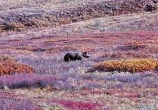Grizzly die bessen zoeken Royalty-vrije Stock Afbeelding