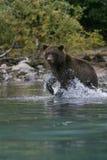Grizzly die in het meer van Alaska vissen Stock Afbeelding