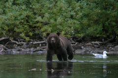 Grizzly die in het meer van Alaska vissen Stock Foto's