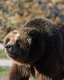 Grizzly die links onder ogen zien stock foto