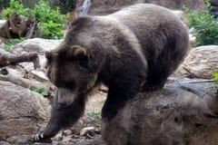 Grizzly die op Rocky Terrain lopen Royalty-vrije Stock Foto