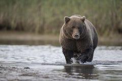 Grizzly die Salmons zoeken Stock Foto