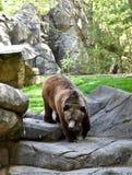 Grizzly die tot Zijn Manier maken aan een Bar stock foto's