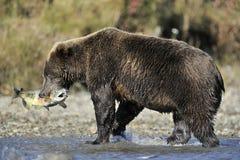 Grizzly die vissen vangen stock fotografie
