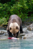 Grizzly die zalm op oever eten Stock Foto