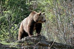 Grizzly die zich op een rots bevinden Stock Fotografie