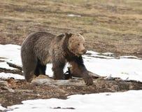 Grizzly door de sneeuw Stock Afbeelding