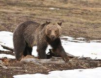 Grizzly door de sneeuw Stock Foto's