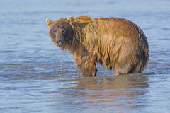 Grizzly Dripping from Fishing in the Water Stock Images