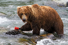 Grizzly eating Royalty Free Stock Image
