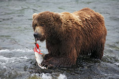 Grizzly eating Royalty Free Stock Photos