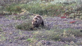 Grizzly Eating Berries in Fall stock footage