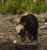 Grizzly in een weide Stock Foto