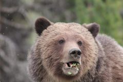 Grizzly enjoying Spring salad stock image