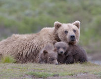 Grizzly family closeup Stock Image
