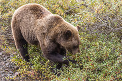 Grizzly Feeding in Fall Stock Photography
