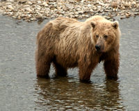 Grizzly fishing for salmon in a river Royalty Free Stock Image