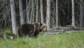 Grizzly forest. A grizzly bear heads into the forest in Banff national park, Canada, in summer Royalty Free Stock Images