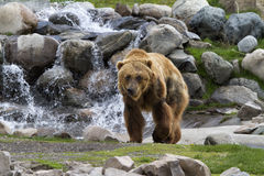 Grizzly in Front of Waterfall Stock Image