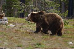 Grizzly, gebochelde, schopneus Royalty-vrije Stock Foto