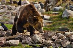 Grizzly, gebochelde, schopneus Royalty-vrije Stock Afbeelding