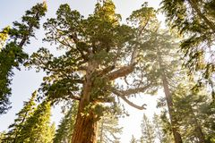 Grizzly giant is one of the biggest trees in the world. Mariposa grove at Yosemite National Park contains over 100 mature Giant Sequoias royalty free stock images