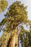 Grizzly giant is one of the biggest trees in the world. Mariposa grove at Yosemite National Park contains over 100 mature Giant Sequoias royalty free stock image