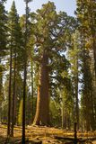 Grizzly giant is one of the biggest trees in the world. Mariposa grove at Yosemite National Park contains over 100 mature Giant Sequoias royalty free stock photo