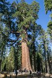Grizzly giant is one of the biggest trees in the world. Mariposa grove at Yosemite National Park contains over 100 mature Giant Sequoias royalty free stock photos