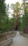 Grizzly Giant Sequoia Tree - Yosemite. A pathway leads to a giant sequoia tree (the Grizzly Giant) in the Mariposa Grove area of Yosemite National Park in Stock Images