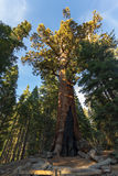 Grizzly Giant sequoia in Yosemite, California. USA Royalty Free Stock Image