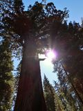 Grizzly giant. Sun through trees Stock Image