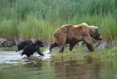Grizzly with her cubs. Grizzly bear running through water with her cubs.SW Alaska Royalty Free Stock Photography