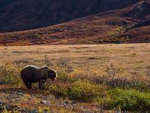 Grizzly in het Nationale Park van Denali royalty-vrije stock afbeeldingen