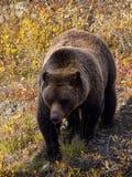 Grizzly in het Nationale Park van Denali - sluit omhoog stock foto