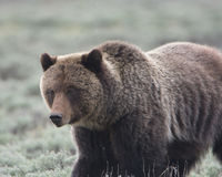 Grizzly in het Nationale Park van Yellowstone Stock Foto