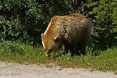 Grizzly het Weiden royalty-vrije stock fotografie
