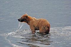 Grizzly on Kodiak Island Stock Image